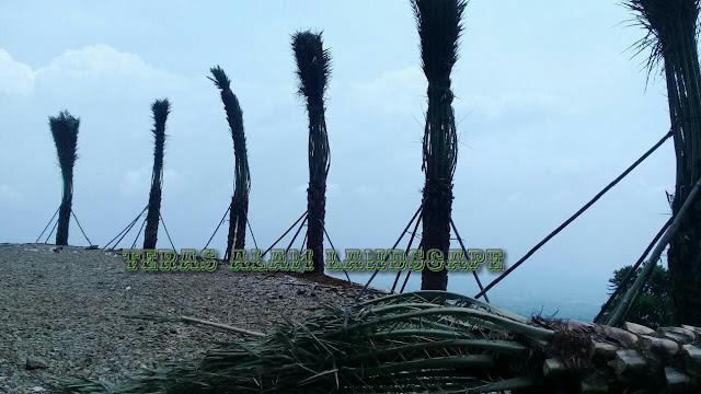 Jual pohon kurma 3m batang