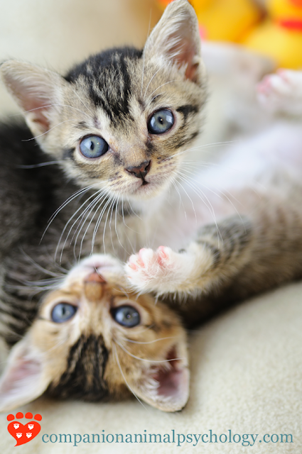 Is it better to get one kitten or two? Two kittens will play together, like these two, which is one of several reasons to consider getting two kittens at once
