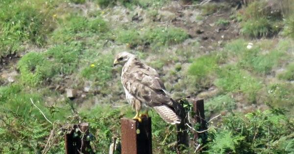 Pendeen Birding Friday 4th August