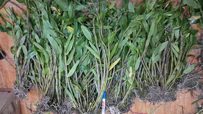HOàng thảo đùi gà cung ứng tại Phong Lan Rừng