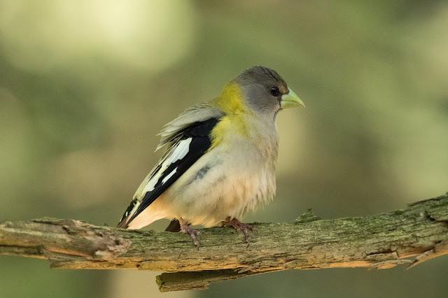 Female Evening Grosbeak - Hartwick Pines, Michigan, USA
