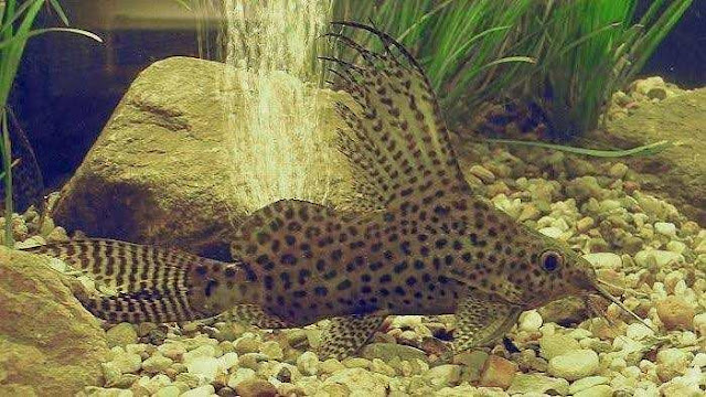 Ikan Sapu Sapu Hias Synodontis