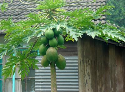 10 Jenis Tanaman Buah Cocok Di Tempat Teduh