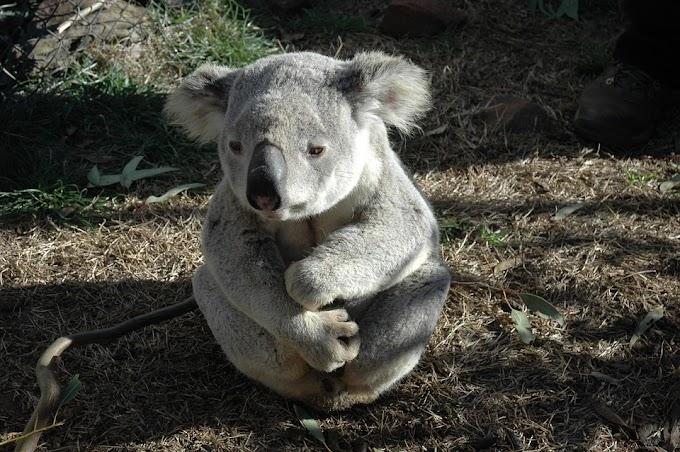 Koala pide agua a un ciclista (VIRAL)