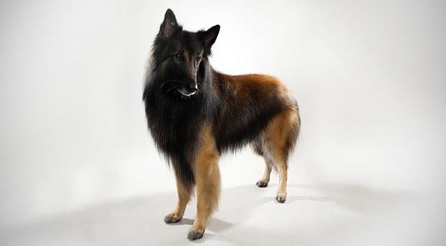 Belgian Tervuren Dog Breed Info: Price, Characteristics, Aggressiveness & Facts
