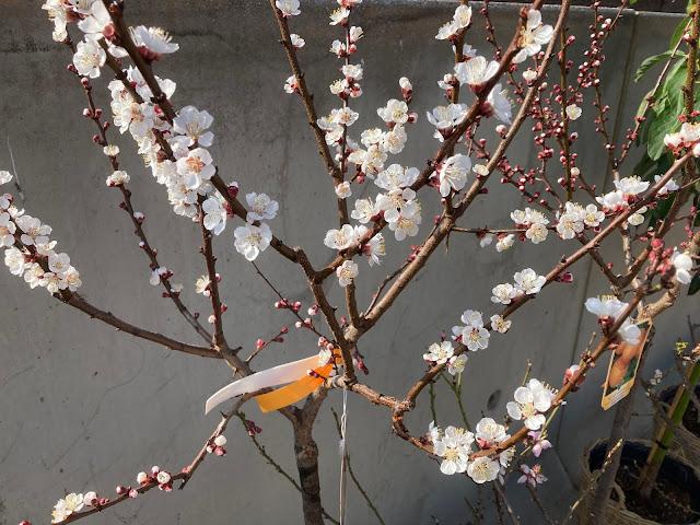 Fruitboom hoogstam kopen of huren voor event in Brussel Antwerpen Limburg Vlaams-brabant