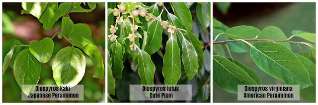 Persimmon Leaves