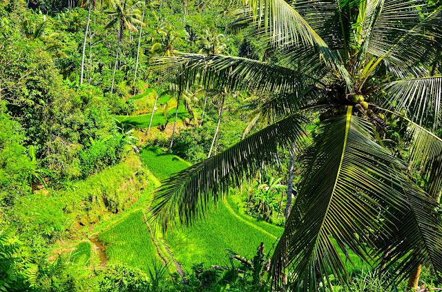 Świątynia Gunung Kawi - Tarasy ryżowe