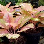 Images - 4 Easy Ways to Care for Aglaonema Plants