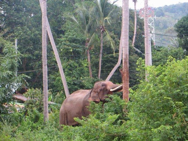 Слон чешет бивни от пальму