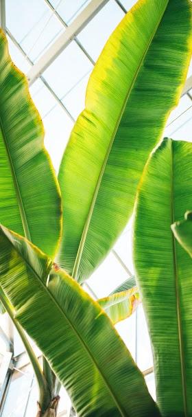 خلفية أوراق شجرة موز خضراء عملاقة