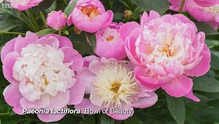 Peony Bowl of Beauty