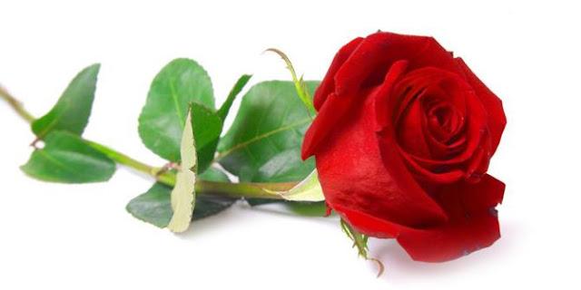 mitos bunga mawar medah dan putih
