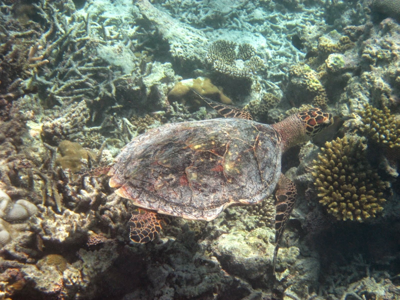 House Reef of Mirihi Maldives Turtle