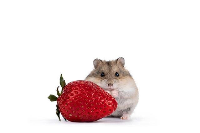 hamster makan stroberi