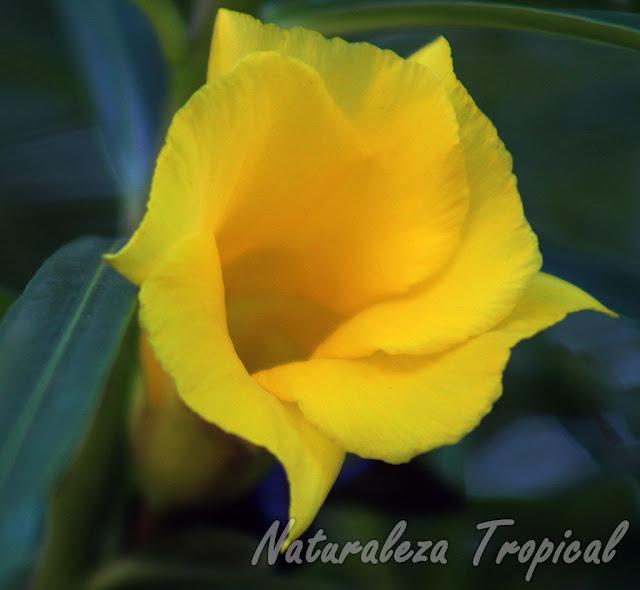 La Adelfa Amarilla es muy común, Thevetia peruviana