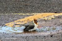 ed-crested Cardinal juvenile enjoying a bath – Aiea Trail, Oahu – © Denise Motard