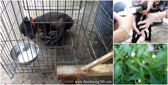 Cách điều trị khi chó bị nôn mữa, bỏ ăn, ỉa ra máu từ cây cỏ mực