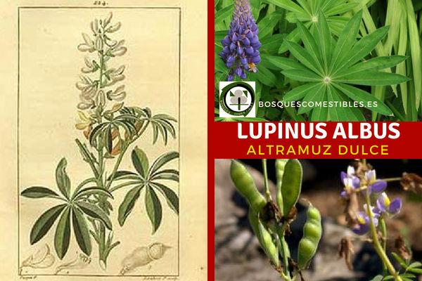 El Lupinus Albus, Altramuz Dulce, Descripción, Cultivo y Generalidades.