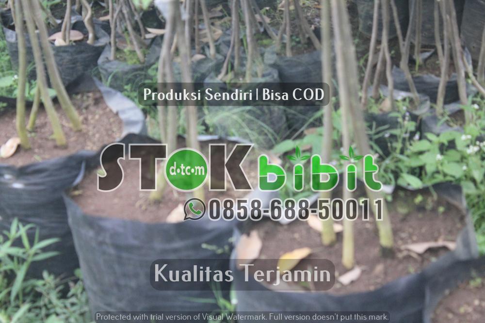 Durian Bawor | Jual Bibit Durian Bawor | Bhineka Bawor    Grosir     Grosir