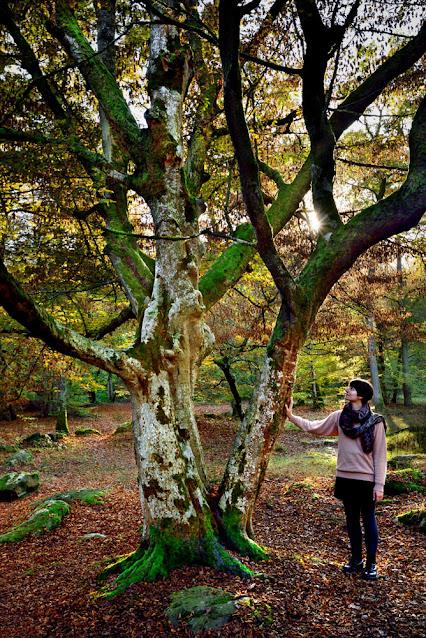 Arbre remarquable de la forêt de Fontainebleau, le charme de Musette.