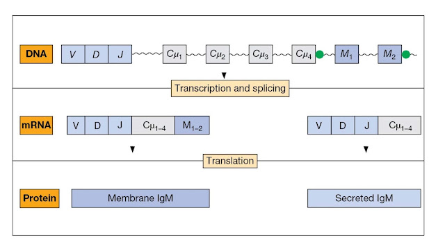 Splicing mechanism for the switch from the membrane to the secreted form of IgM