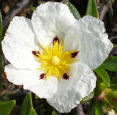 Esteva - flor