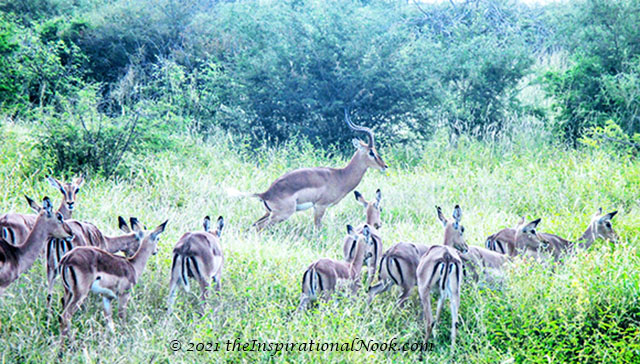 Impala, safari, Mosetlha Bush Camp, Madikwe Game Reserve, South Africa