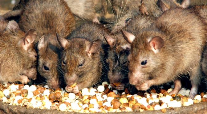¡Solo en Australia! Aparece una apocalíptica plaga de ratones; la peor en los últimos 10 años