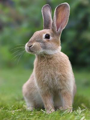 usaha peternakan kelinci