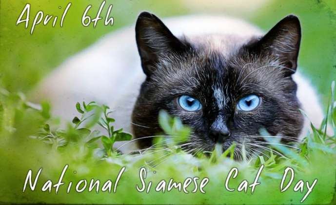 National Siamese Cat Day Wishes Images download