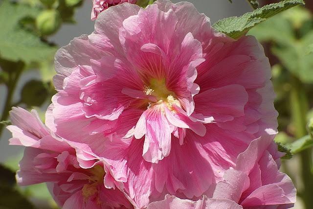 beautiful mallow flower