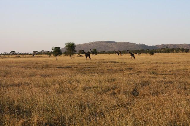 tansania safari afrikka matka kirahvi
