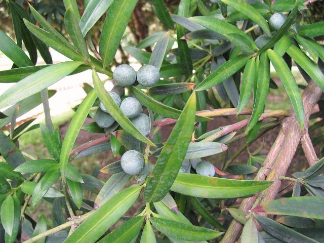 podocarpus%2Belatus.jpg