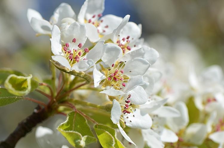 Fleurs d'arbres fruitiers