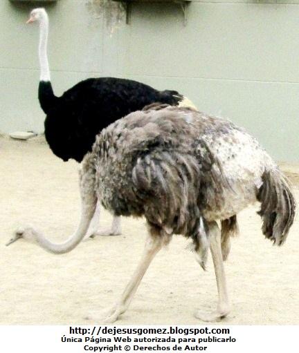 Foto de avestruces del Parque de las Leyendas por Jesus Gómez