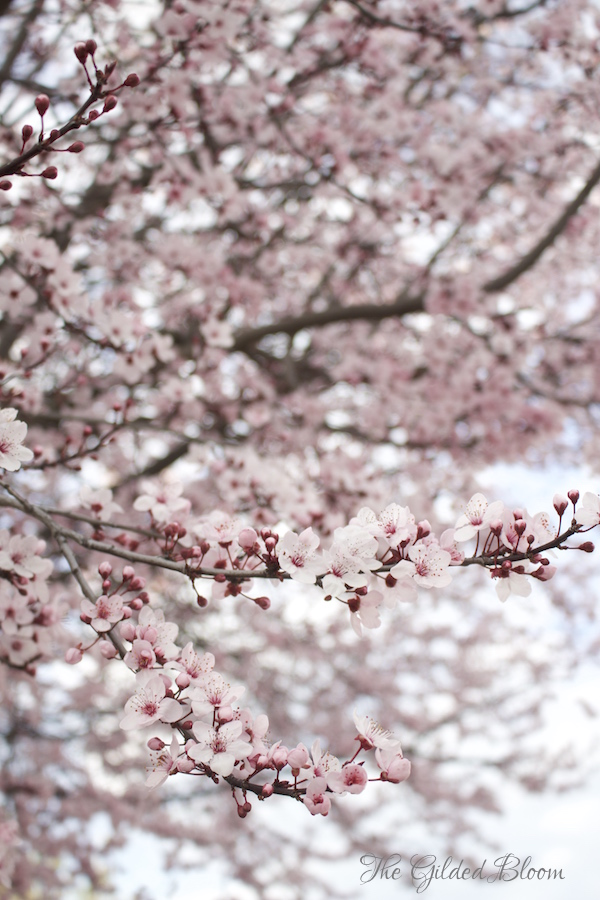 Flowering Plum Trees- www.gildedbloom.com