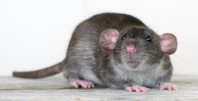 Wyatt Therapy Rat in Training