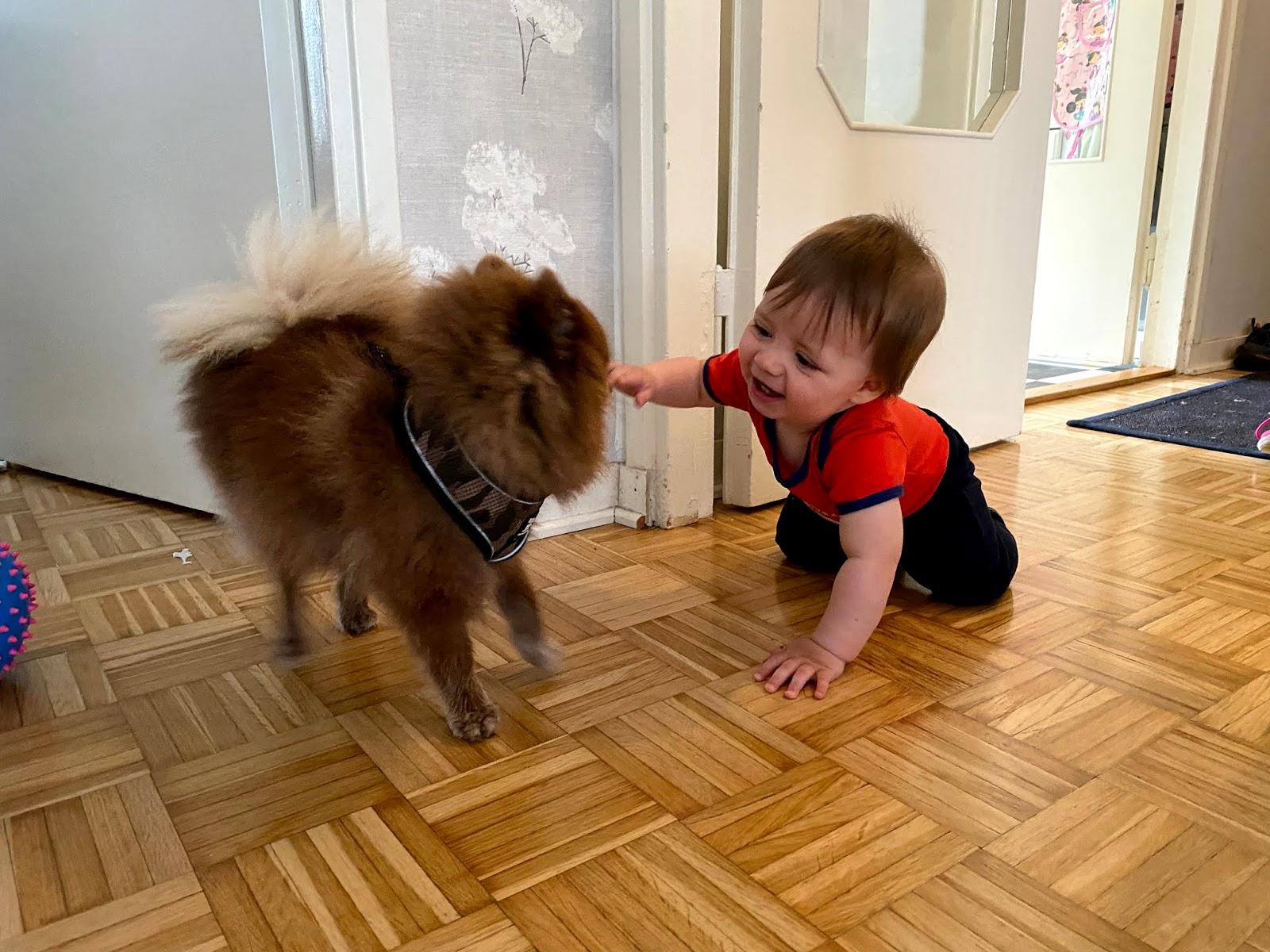 Pomeranian ja vauva
