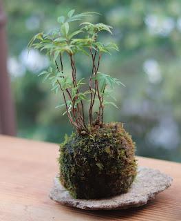 苔玉 ハゼノキ 自然石の皿にのせて