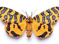 As borboletas possuem antenas finas, que se enrolam nas pontas, formando uma pequena esfera. Já as mariposas, essas possuem antenas diferenciadas de acordo com sua espécie. Mas são, na maioria das vezes, mais curtas e mais grossas , geralmente, de aparência serrilhada ou peluda.
