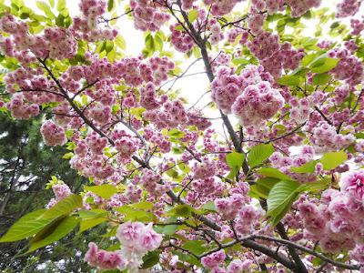 深北緑地 4月下旬の桜