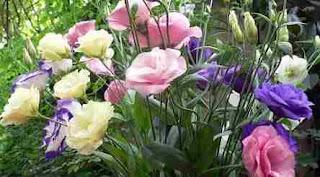 Floarea Lisianthus: Simbol și semnificație