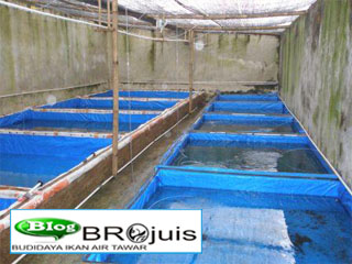 budidaya ikan air tawar: kolam budidaya ikan lele