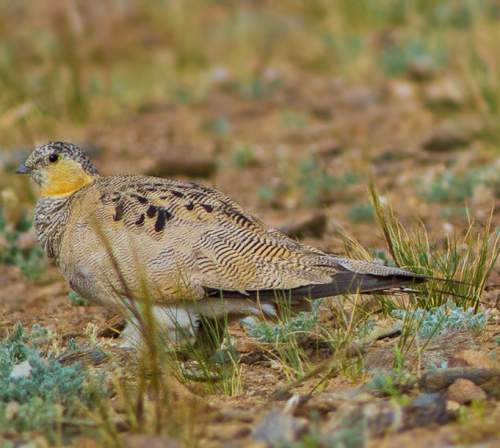 Indian birds - Tibetan sandgrouse - Syrrhaptes tibetanus
