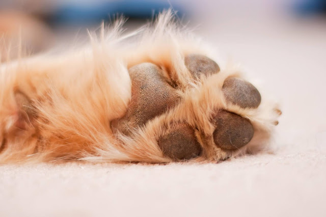 Why Are My Dog's Paws Red? Causes and Treatment Options