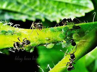 rệp cây sống cộng sinh với kiến