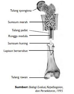 Struktur tulang pada manusia