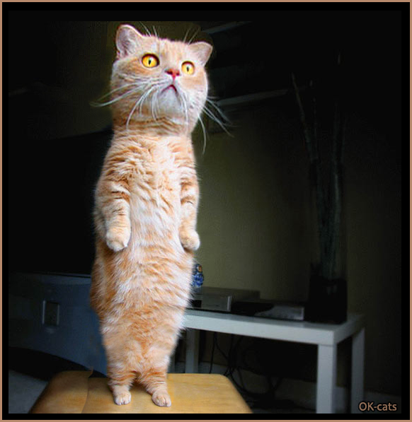 Photoshopped Cat Picture • Funny standing cat with a huge head and tiny hind legs. Little monster haha