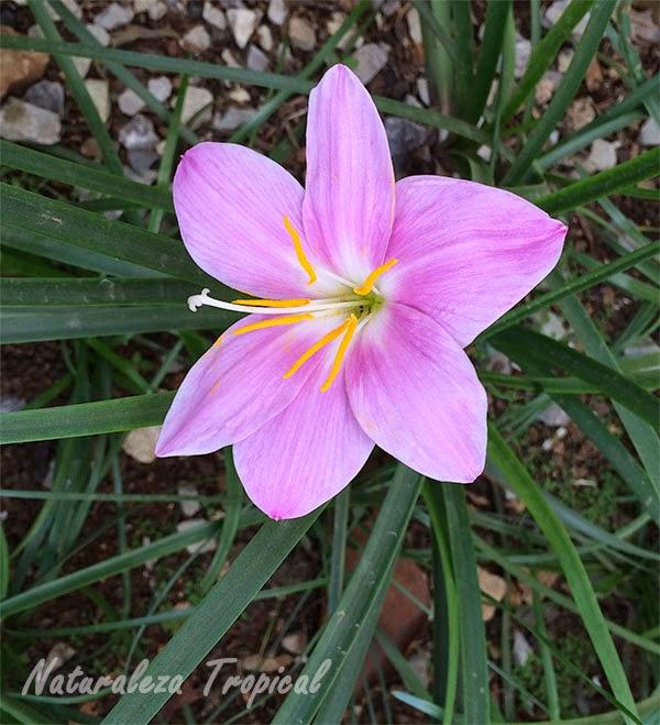 Foto de la flor brujita (género Zephyranthes), llamada maleza.